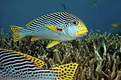 Diagonal Banded Sweet Lips In Great Barrier Reef Poster