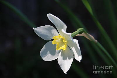 Diana's Daffodil Poster