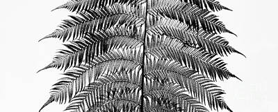 Dicksonia Antarctica Frond Panoramic Poster by Tim Gainey