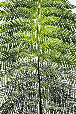 Dicksonia Antarctica Frond Poster by Tim Gainey