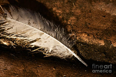 Discarded Feather Poster by Jorgo Photography - Wall Art Gallery