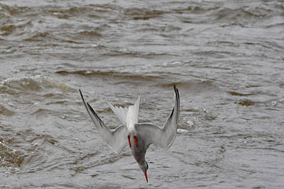 Diving Fishing Common Tern Poster by Asbed Iskedjian