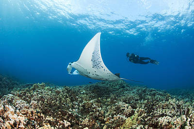 Diving With Manta Ray Poster
