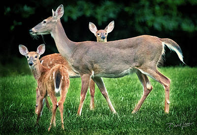Poster featuring the photograph Doe And Two Fawns by David A Lane