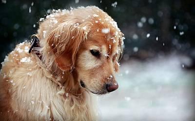 Dog Golden Retriever In Snow                  Poster