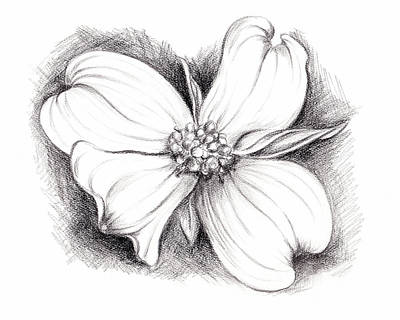 Dogwood Blossom Charcoal Poster