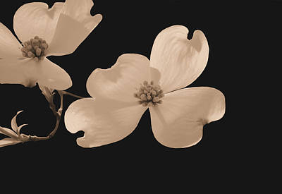 Dogwood Blossoms Sepia Poster by Kristin Elmquist
