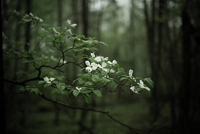 Poster featuring the photograph Dogwood Branch by Shane Holsclaw