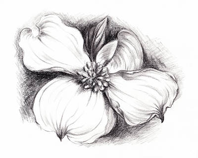 Dogwood Flower In Charcoal Poster