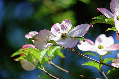 Dogwood Flowers Poster by Ronda Ryan
