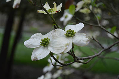 Poster featuring the photograph Dogwood by Linda Geiger