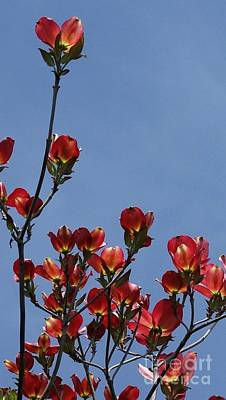 Poster featuring the photograph Dogwood by Victor K