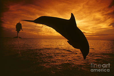 Dolphins And Sunset Poster by Dave Fleetham - Printscapes