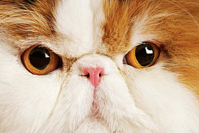 Domestic Persian Cat Against White Background. Poster