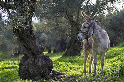 Donkey In An Olive Grove Poster by Jean-Louis Klein & Marie-Luce Hubert
