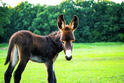 Poster featuring the photograph Donkey In The Pasture by Shelby Young