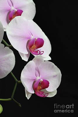 Doritaenopsis Mount Lip Fangtastic Orchid Poster