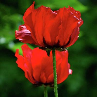 Double Red Poppies Poster