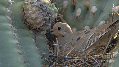 Dove In A Saguaro Cactus Poster