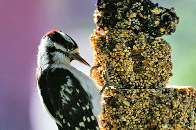 Downy Woodpecker Poster by Aliceann Carlton