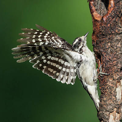 Downy Woodpecker Female Square Poster