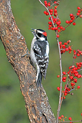 Downy Woodpecker Male With Red Berries Poster by Alan Lenk