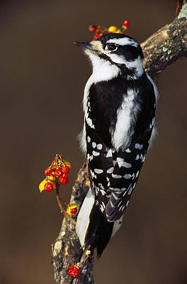 Downy Woodpecker On Tree Branch Poster