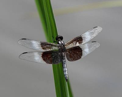 Poster featuring the photograph Dragon Fly by Jerry Battle