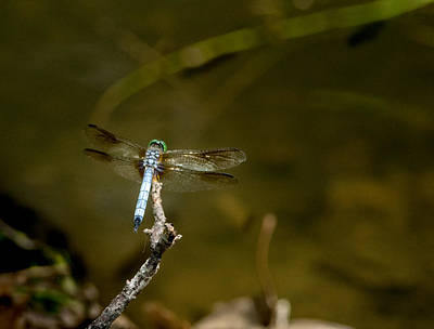 Dragonfly Awaiting Choice Prey Poster by Douglas Barnett