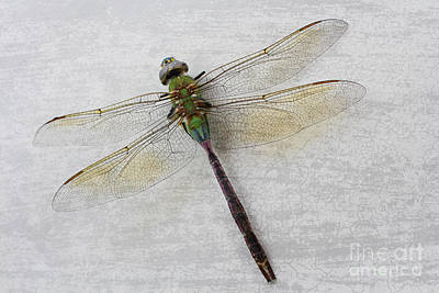 Dragonfly Poster by Ella Kaye Dickey