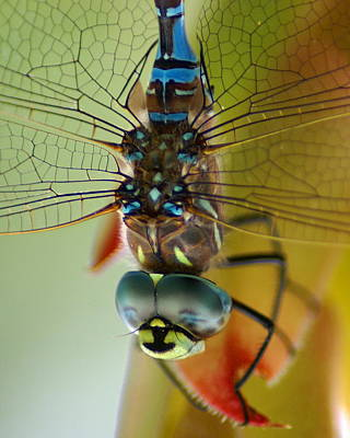Poster featuring the photograph Dragonfly In Thought by Ben Upham III