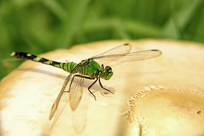 Dragonfly On Mushroom Poster
