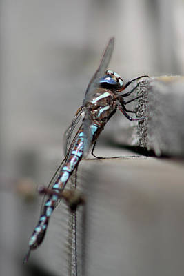 Poster featuring the photograph Dragonfly Pause by Cathie Douglas
