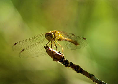 Dragonfly Perched Poster by Jeff Swan