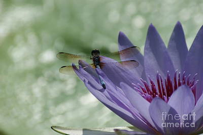 Dragonfly Resting On Purple Lily...   # Poster by Rob Luzier