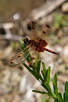 Dragonfly Resting On The Green Poster by Douglas Barnett