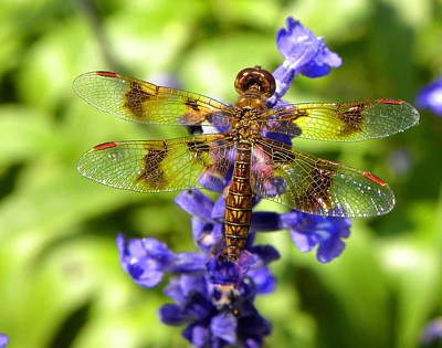 Poster featuring the photograph Dragonfly by Sandi OReilly