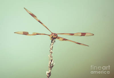 Dragonfly Wings Poster by Cheryl Baxter