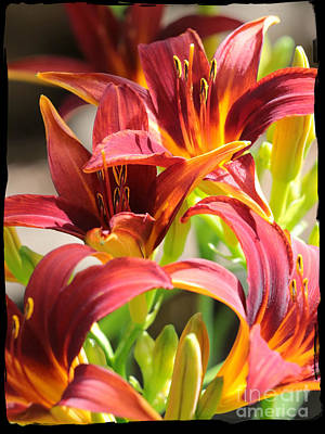 Dramatic Daylily Poster by Carol Groenen