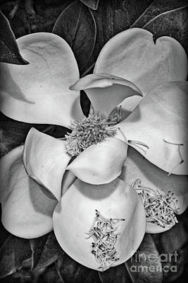 Dramatic Magnolia In Black And White Poster