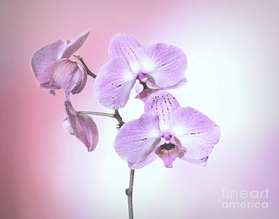 Poster featuring the photograph Dreamy Pink Orchid by Linda Phelps