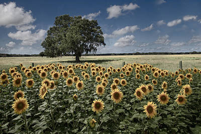 Dreamy Tree In The Sunflower Field Poster by Debra and Dave Vanderlaan