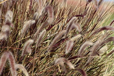Dried Grasses In Burgundy And Toasted Wheat Poster