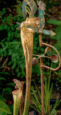Dried Pitcher Plant Poster by Douglas Barnett