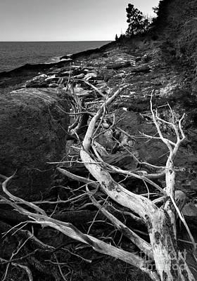 Driftwood Tree, La Verna Preserve, Bristol, Maine  -20999-30003 Poster