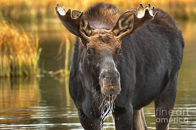 Drooling Moose Poster by Adam Jewell