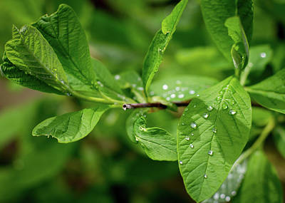 Droplets On Spring Leaves Poster