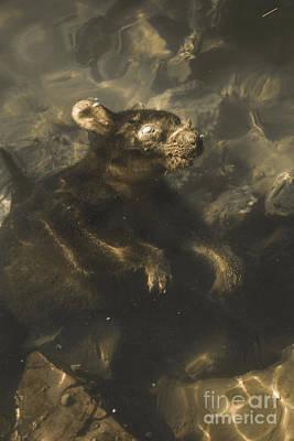 Drowned Tasmanian Possum Poster