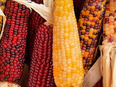 Dry Indian Corn Poster