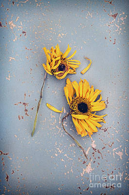 Dry Sunflowers On Blue Poster by Jill Battaglia